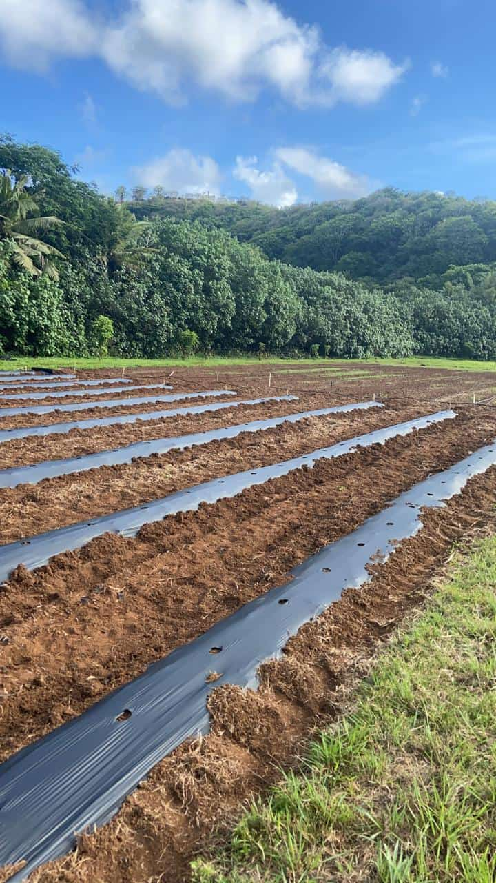 Valley of the latte Agricultural Harvest of Fresh Watermelon on Guam